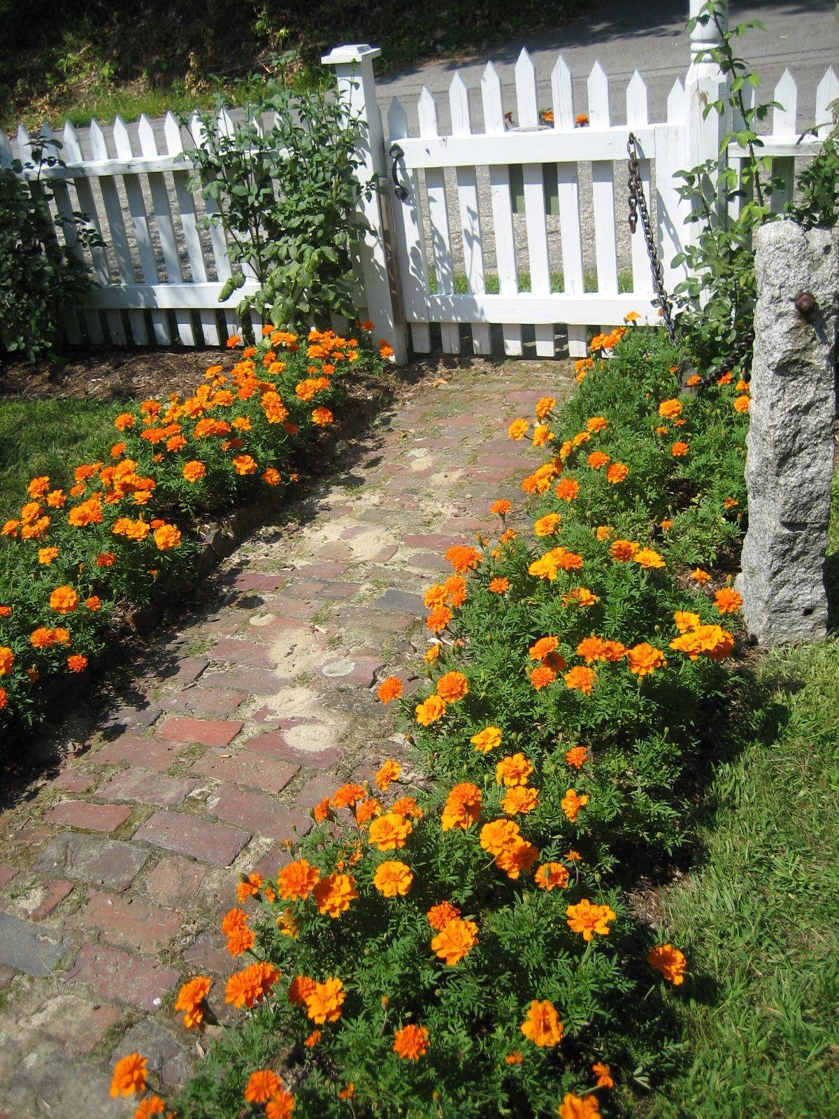 Marigolds Durango Orange Jpg 1 200×1 600 Pixels Garden 400 x 300