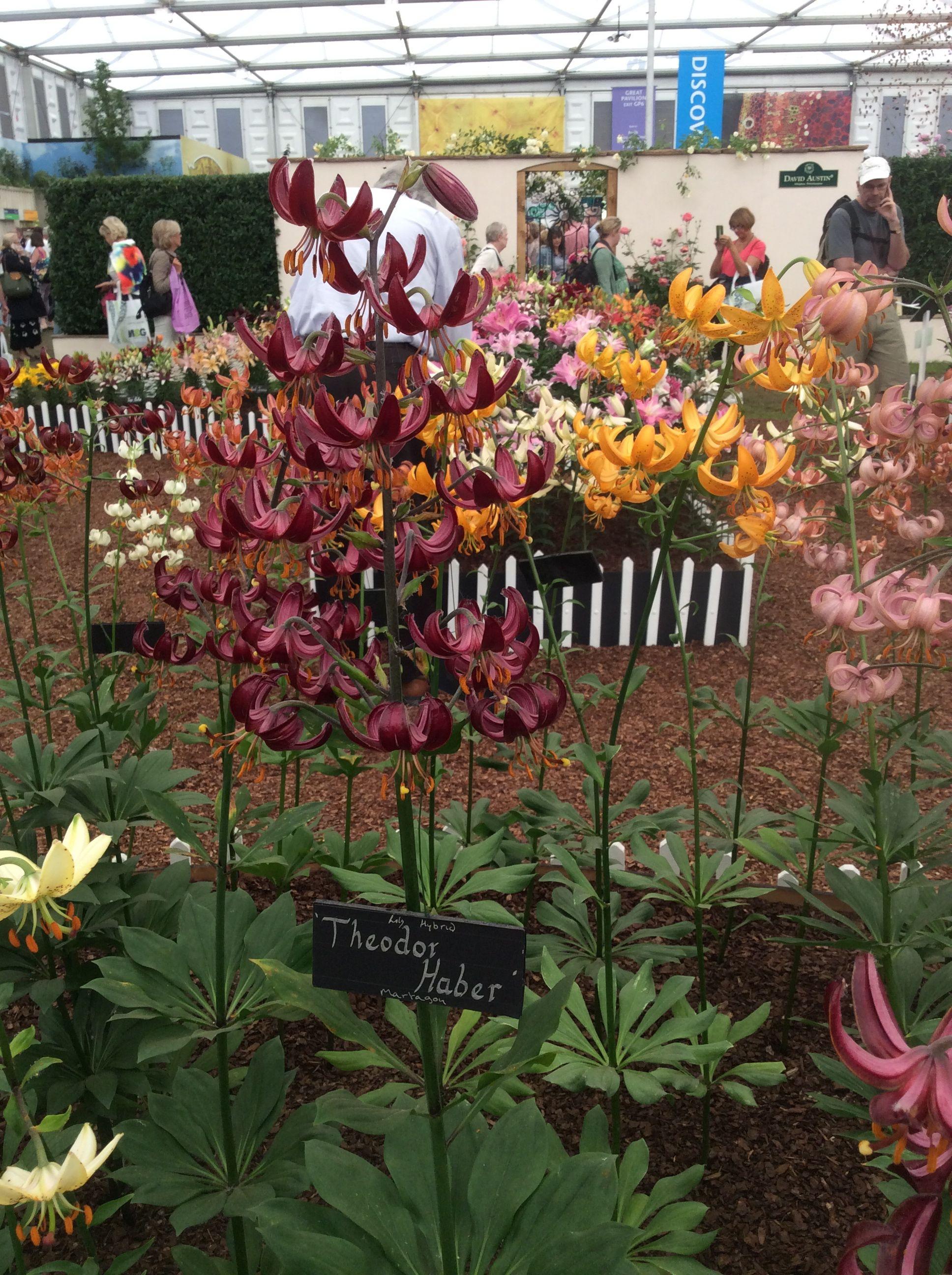 lilium martagon Theodore Haber at Chelsea #lily   Gardens & Plants ...