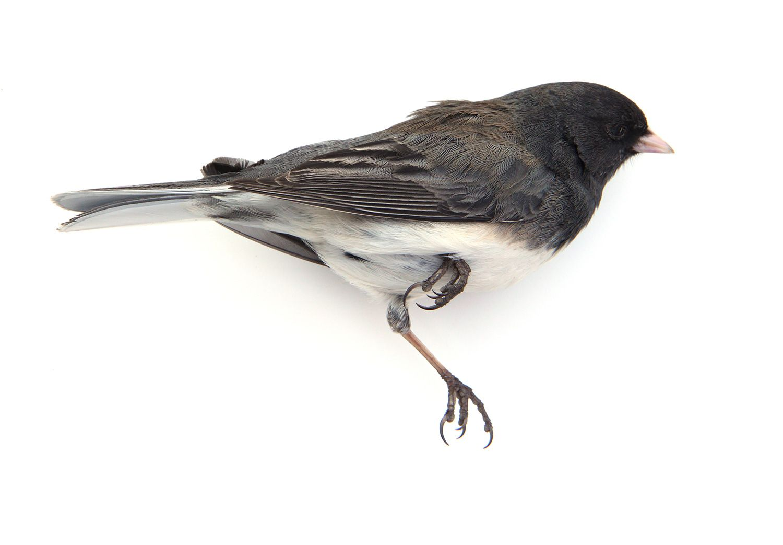 Junco Mary Jo Hoffman Wet Specimen Taxidermy Bird Photography Taxidermy