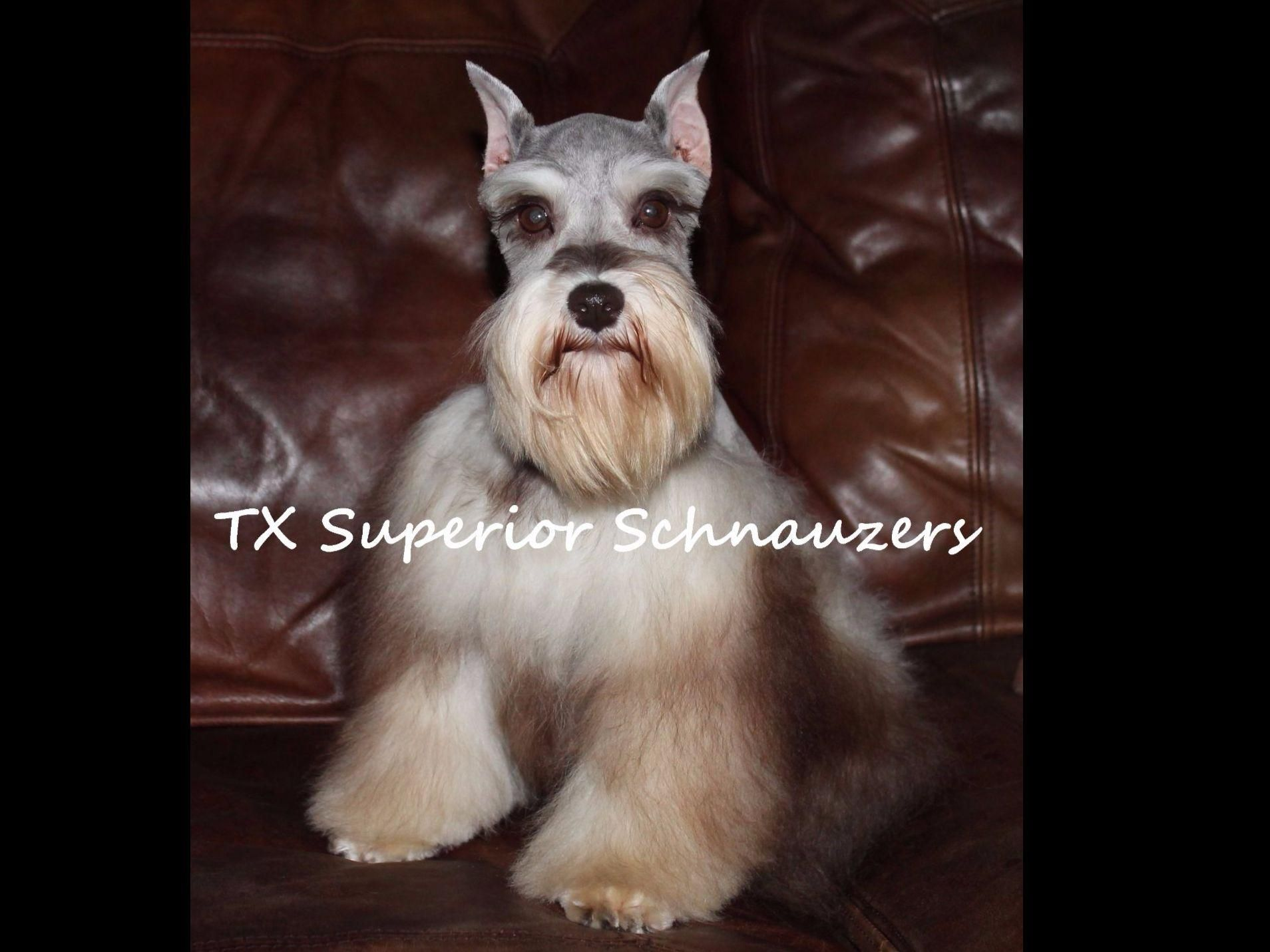 Shana Mendez Is From Texas And Breeds Miniature Schnauzers Akc Proudly Supports Dedicated And Responsible Breeders We Encourage All Pro Puppy Owner Canine Akc