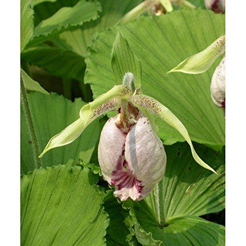 garten orchideen cypripedium japonicum freiland frauenschuh orchideen bereit zu pflanzen. Black Bedroom Furniture Sets. Home Design Ideas