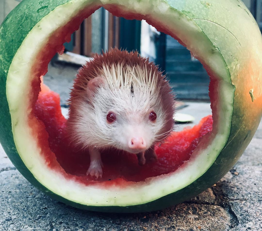 Love my 🍉house  #whatermelon #hedgehog #hedgehogs #hedgie #hedgi #riccioalbino #willyilriccio #ricciociccione #riccioafricano #hedgielove #hedgehogs_of_instagram #hedgies #fruits #fruitporn #fitness #loveislove #babyfruit #willymelon #fruitwilly #red #melon #sane #healtyfood #healtybabyfood