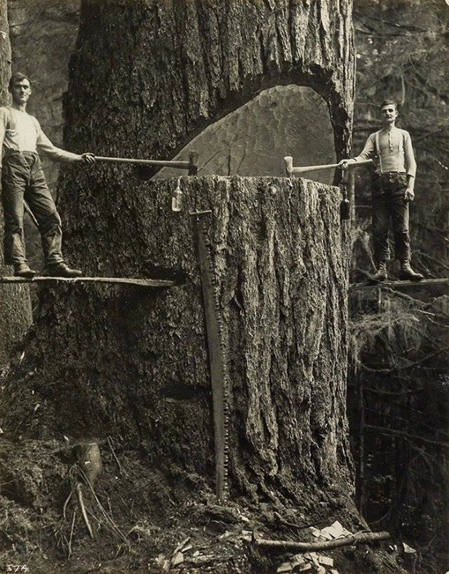Long before the chainsaw was invented, loggers had to cut trees manually.jpg (640×818)