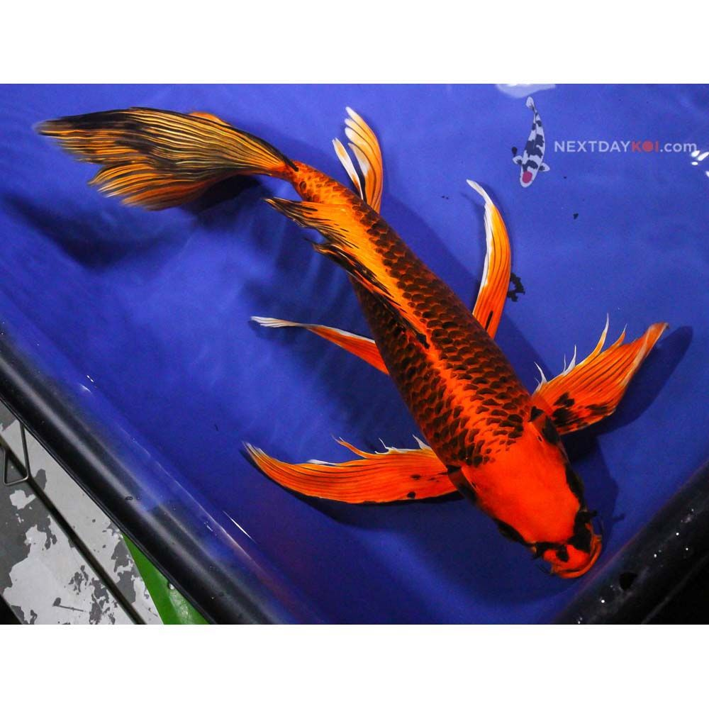 16 5 aka matsuba butterfly koi koi fish for sale koi for Red koi fish for sale