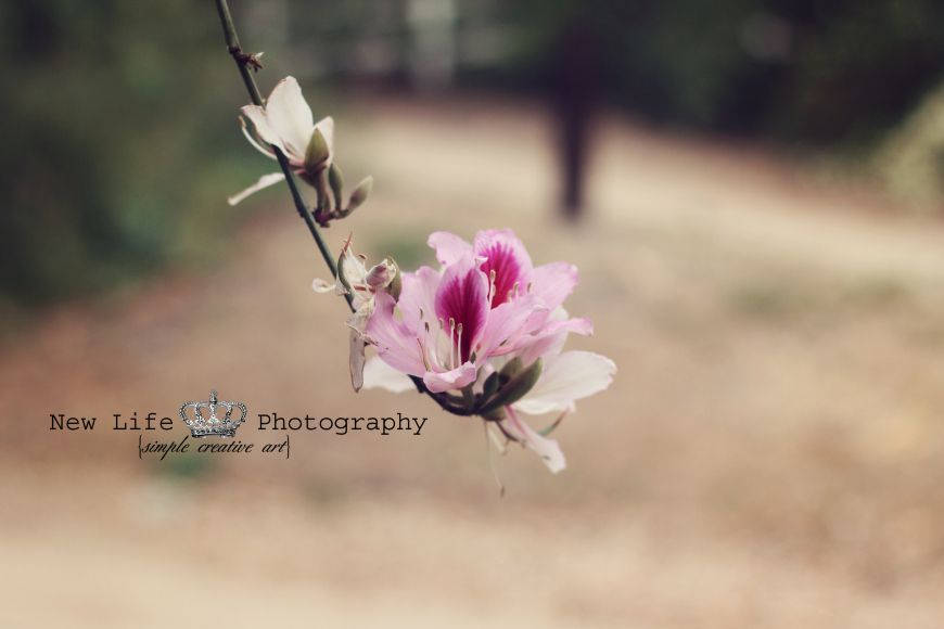 Cherry blossom, royal oaks trail, duarte ca, nature, still life photography, flowers, photographer, newlifeproductions.info