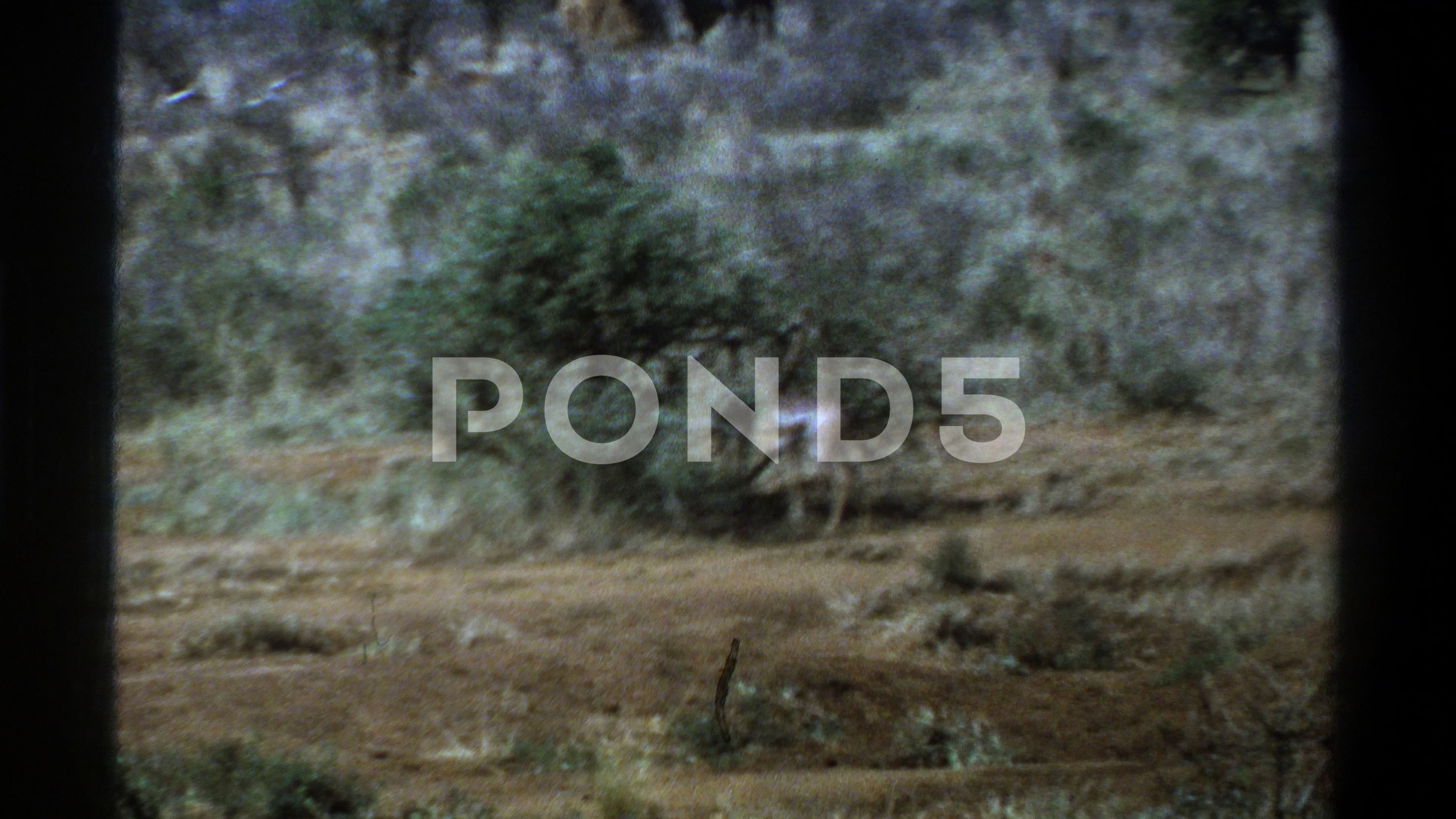 TOWN SOUTH AFRICA1969 An Animal Standing Near A Shrub In The Plains AFRICASOUTHCAPETOWNCAPE TOWN SOUTH AFRICA1969 An Animal Standing Near A Shrub In The Plains AFRICASOUT...