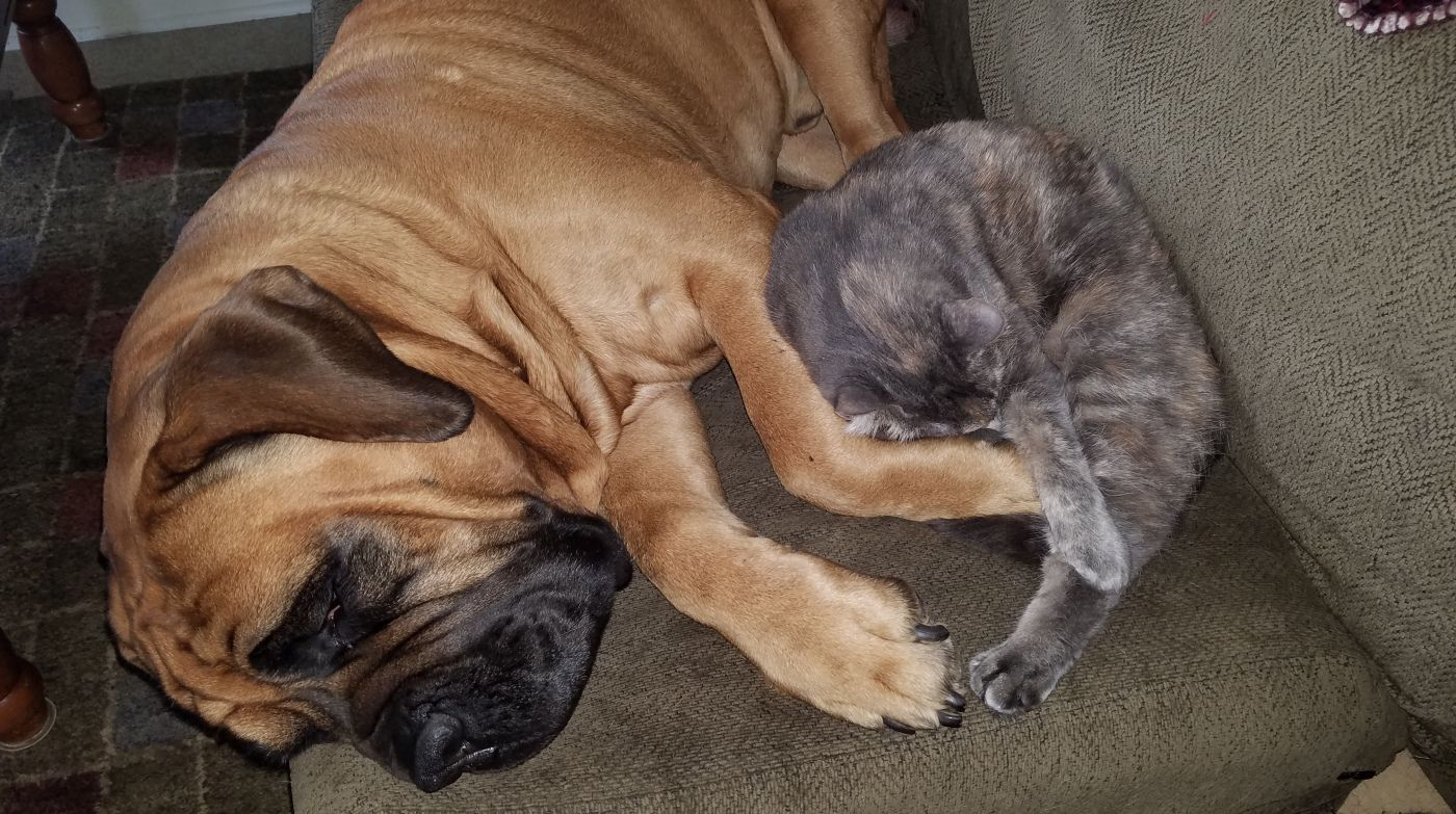 Boerboels and cats meet zach willow the cat kittyjo
