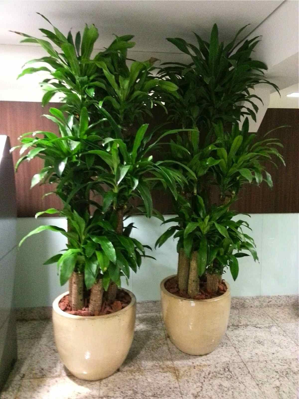 Pau d\'água - Dracaena fragrans | Plantas, Vasos y Plantas de interior