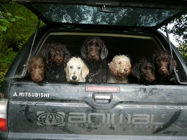 The Best Cars Are Full Of Labradoodles D Labradoodle Vs Goldendoodle Labradoodle Labradoodle Vs