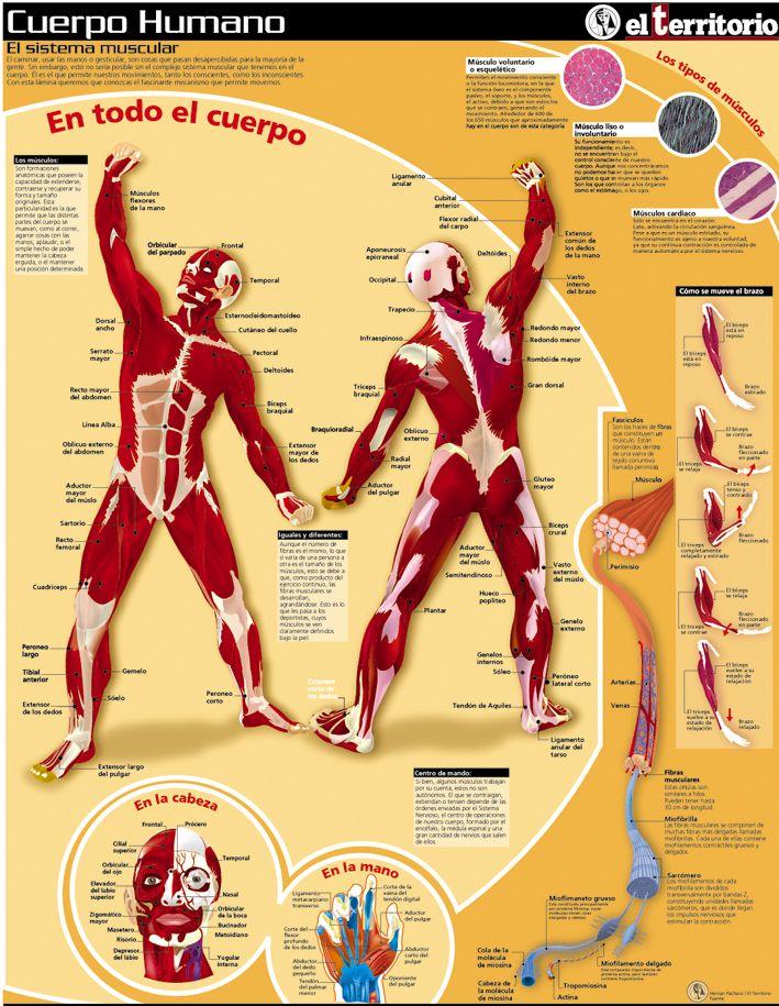 Cuerpo humano - El sistema muscular   Español de la medicina y la ...