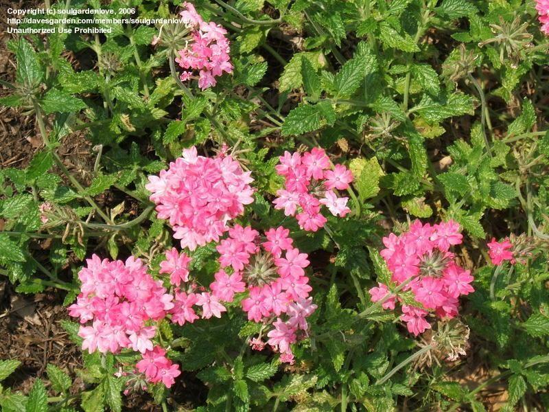 Full size picture of Rose Verbena, Purple Verbena, Homestead Verbena Homestead Pink (iGlandularia canadensis/i)