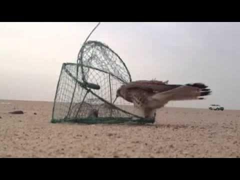 طريقة صيد الطيور الجارحة Fish Pet Pets Animals