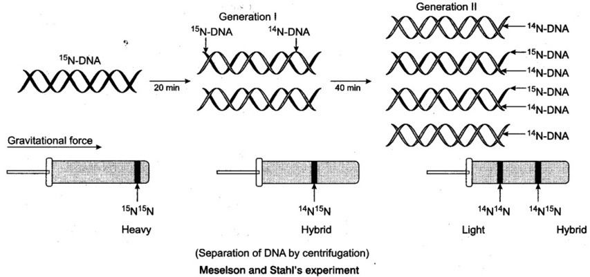 Pin By Ncert Solutions On Cbse Tuts Biology Notes Molecular Dna Replication