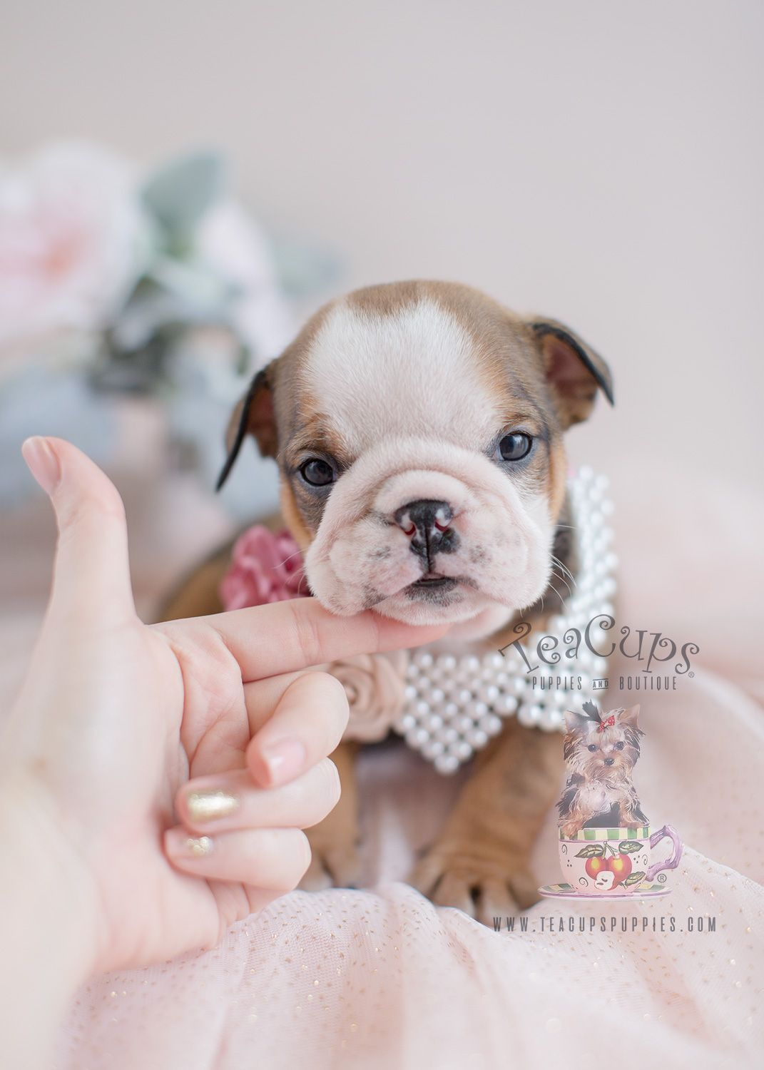 Beautiful Wrinkly English Bulldog Puppy Englishbulldog
