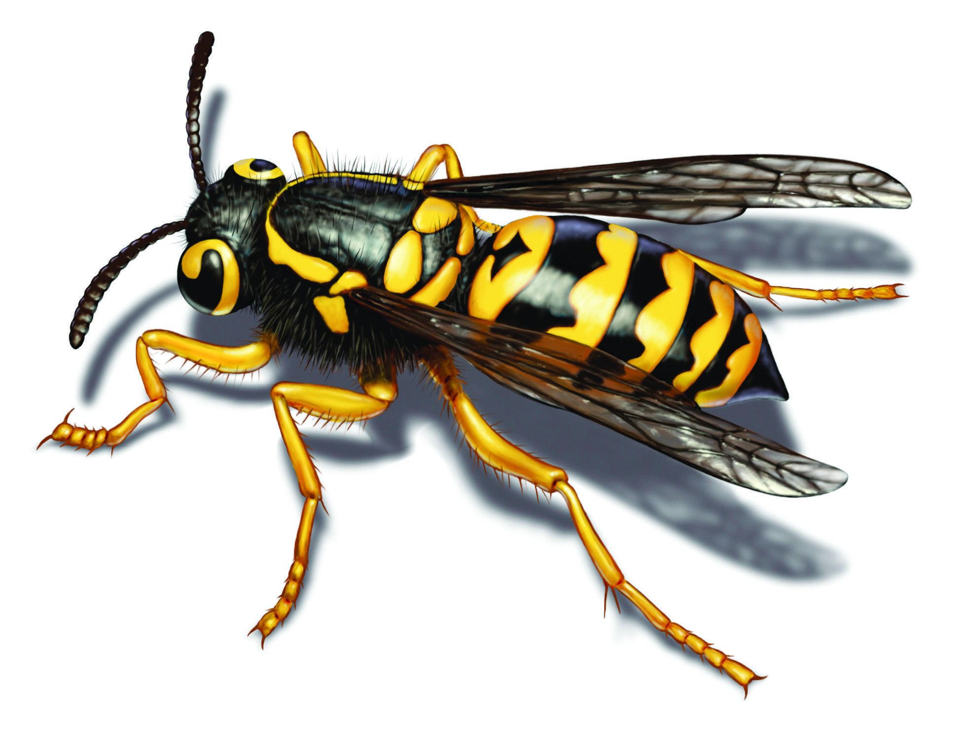 Yellow Jacket Facts How To Get Rid Of Yellow Jackets Bee Yellow Jacket Insect Art