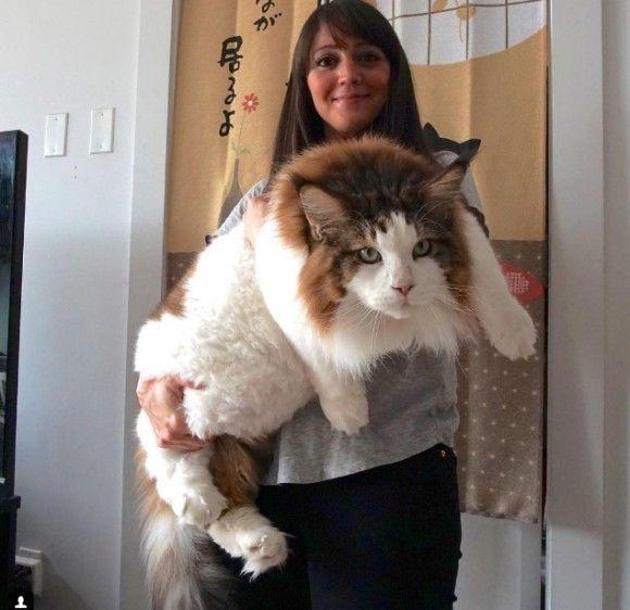 Cat ねこ おしゃれまとめの人気アイデア Pinterest Elsa Sanchez メインクーン 猫 子猫 おもしろネコちゃん