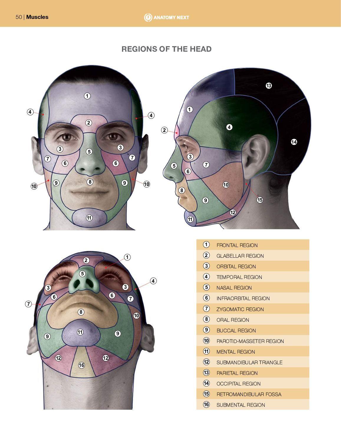 Print Anatomy Of Facial Expression