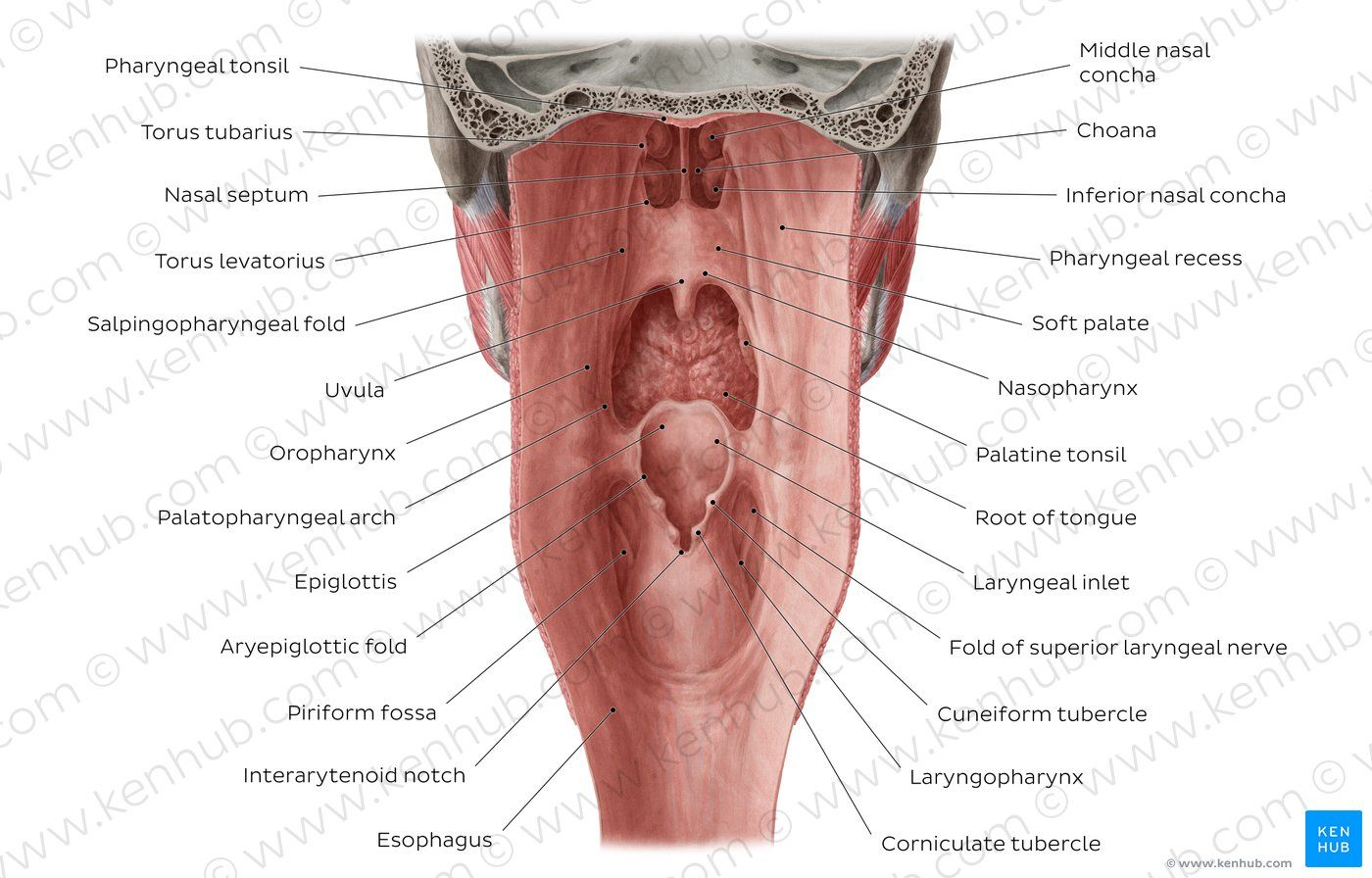 Pharyngeal Tonsils Pictures Human Body Anatomy Human Body