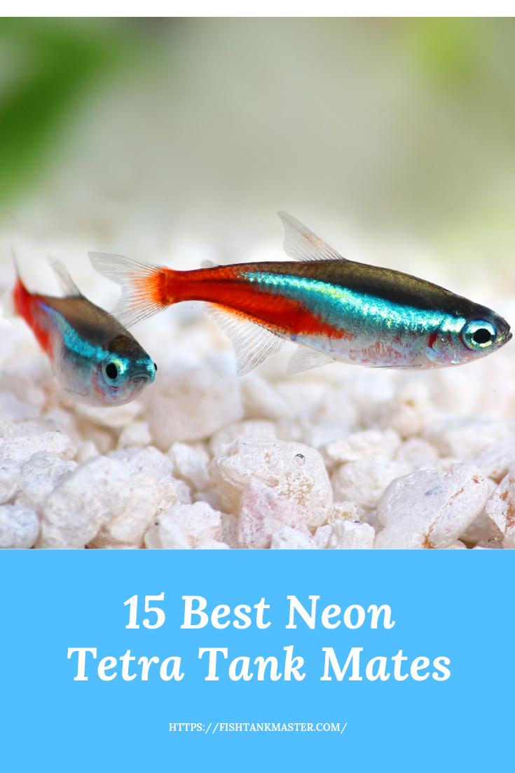 Top 15 Neon Tetra Tank Mates Neon Tetra Tetra Fish Fresh Water Fish Tank