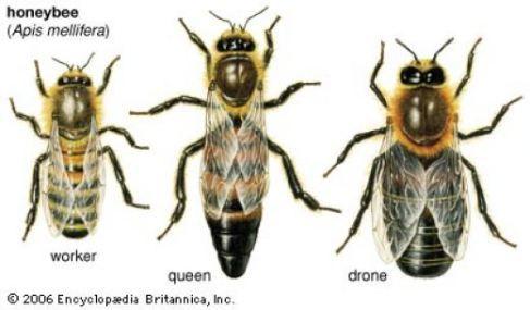 What Happens When The Queen Bee Dies Honey Bee Facts Drone