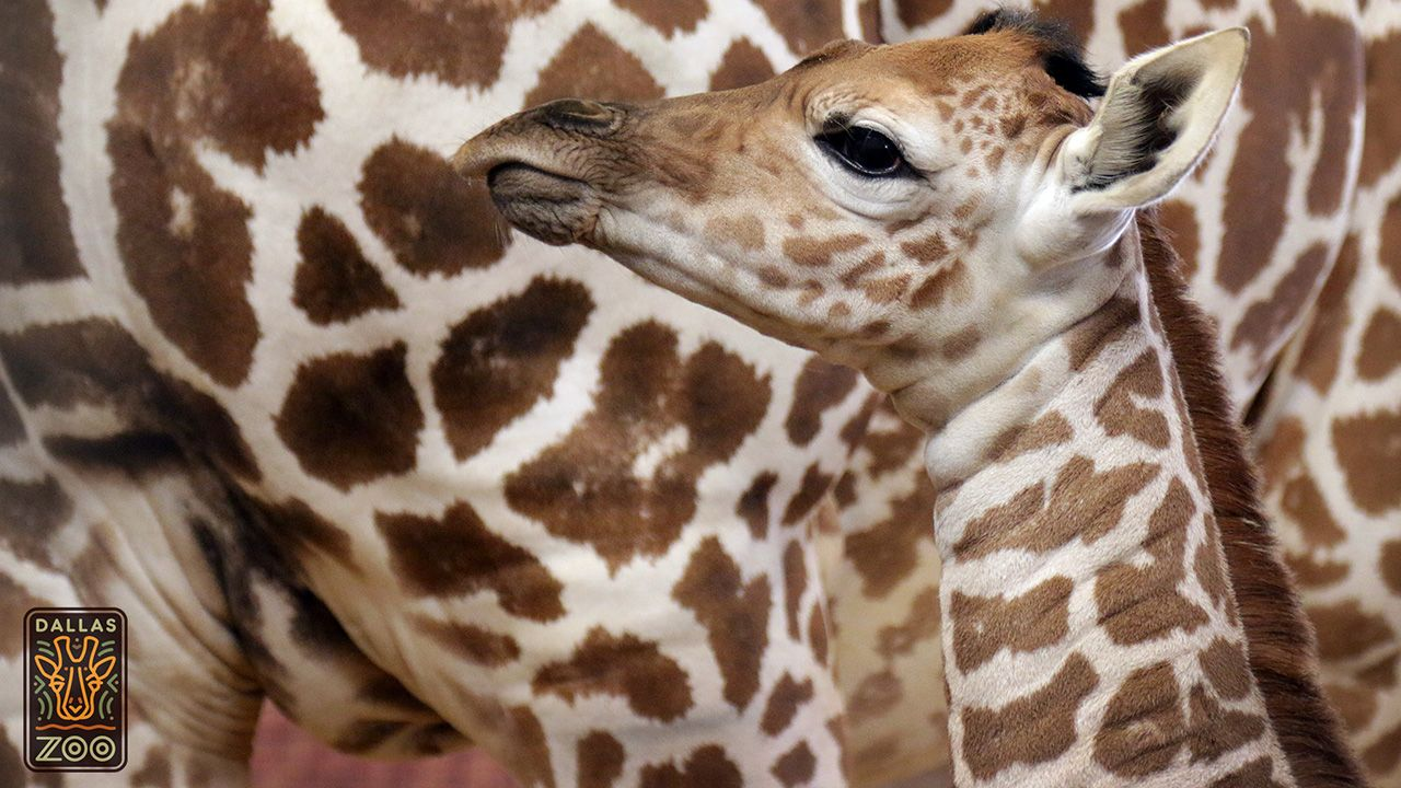 Weather Hampers Public Debut of Adorable Baby Giraffe