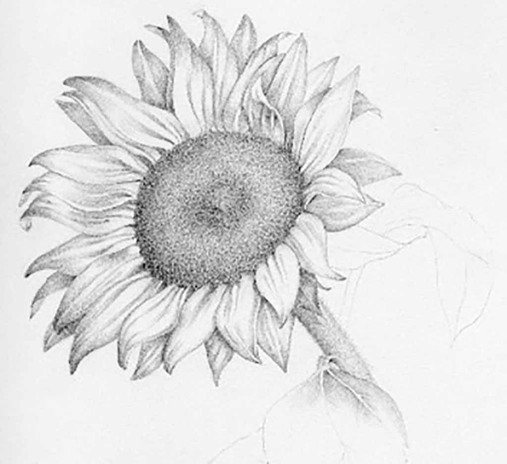 Realistic Sunflower Drawing Sunflower Pencil Drawing Pencil Sunflower Pencil Sketch Sunflower Drawing Sunflower Sketches Pencil Drawings Of Girls