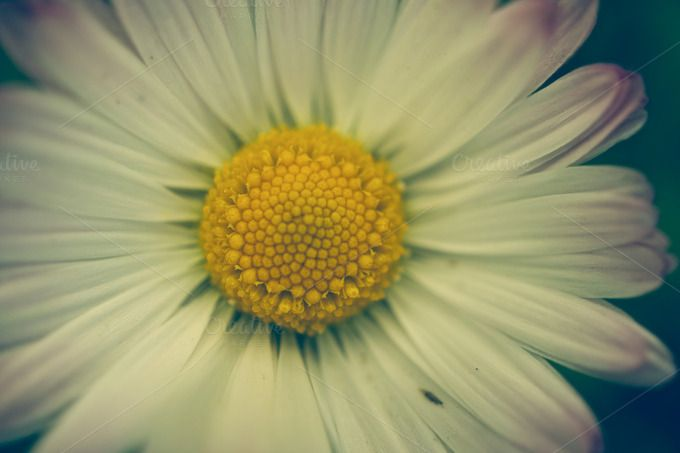 Daisy macro by ApertureVintage on Creative Market