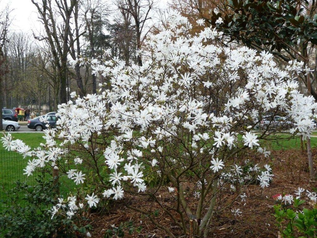 magnolia stellata arbre floraison printani re magnolia stellata plants for palette. Black Bedroom Furniture Sets. Home Design Ideas