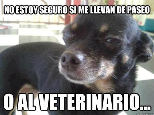 De Paseo O Al Veterinario Chihuahua Funny Chihuahua Cute Chihuahua