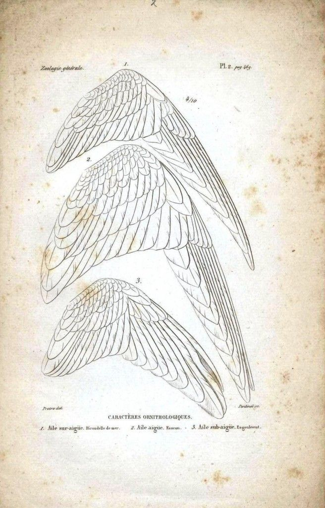 comparison of wings | Drawing Tutorials | Pinterest | Drawings ...