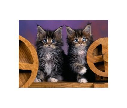 Hjgvhjv Charming Maine Coon Kitten For Sale Is A Female