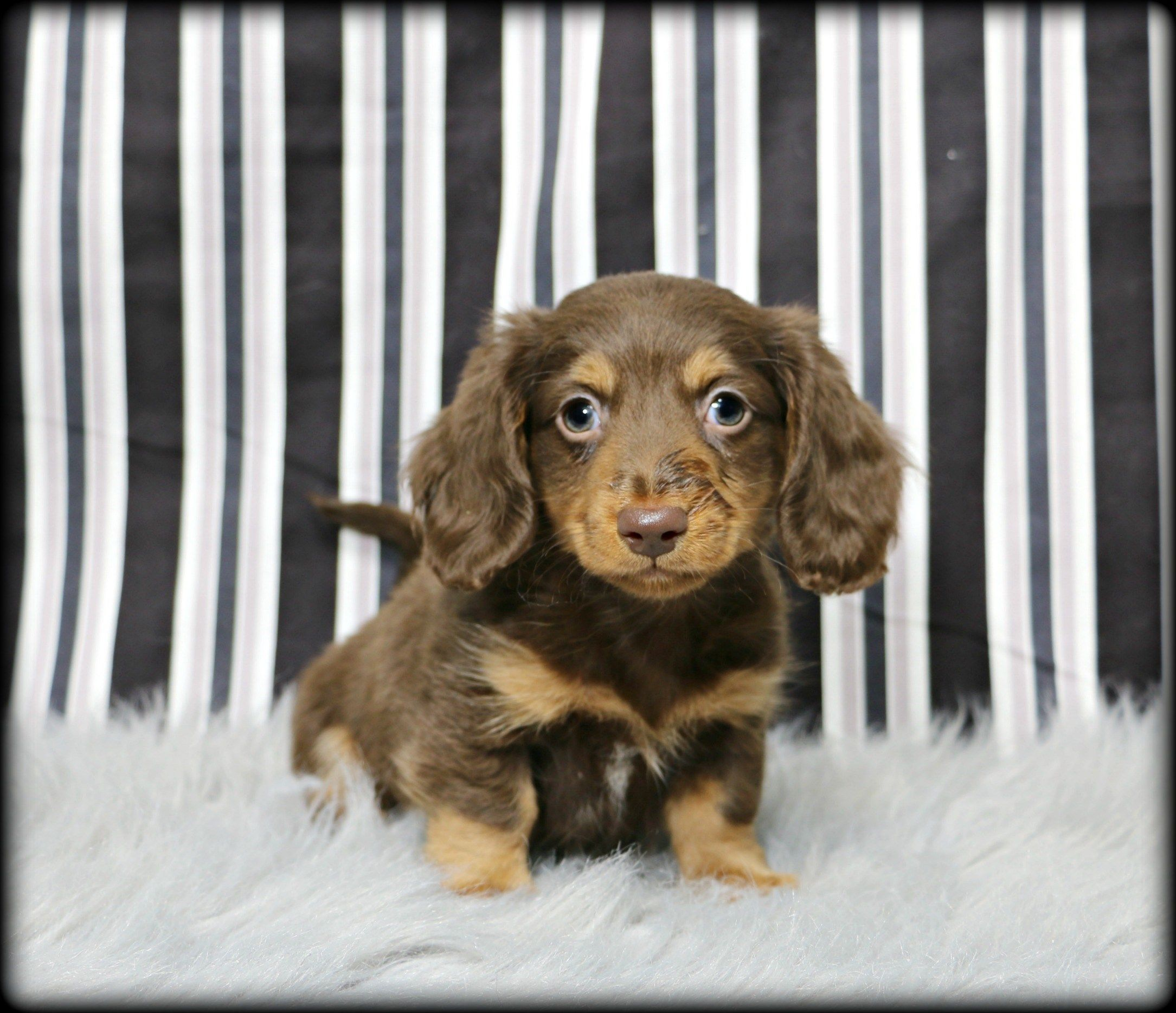 Petland Overland Park Has Dachshund Puppies For Sale Check Out All Our Available Puppies Dachshu Puppies For Sale Puppy Friends Dachshund Puppies For Sale