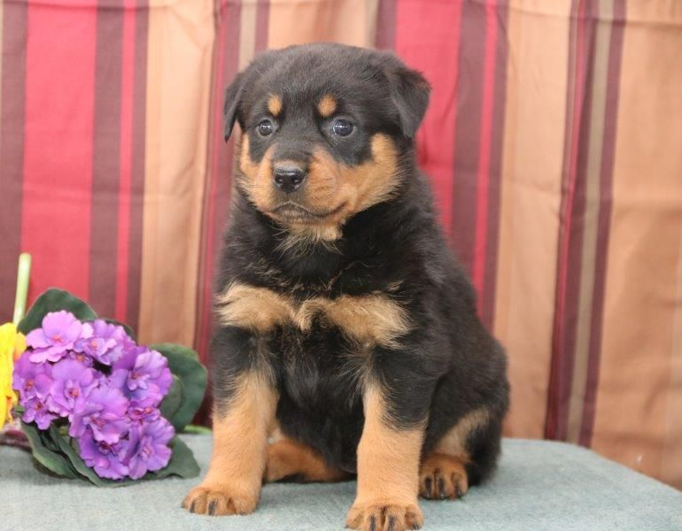 Litter Of 7 Rottweiler Puppies For Sale In New Holland Pa Adn