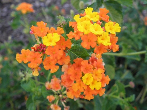 44 569 lantana zinn orange zinn orange perennial lantana 44 569 lantana zinn orange zinn orange perennial mightylinksfo