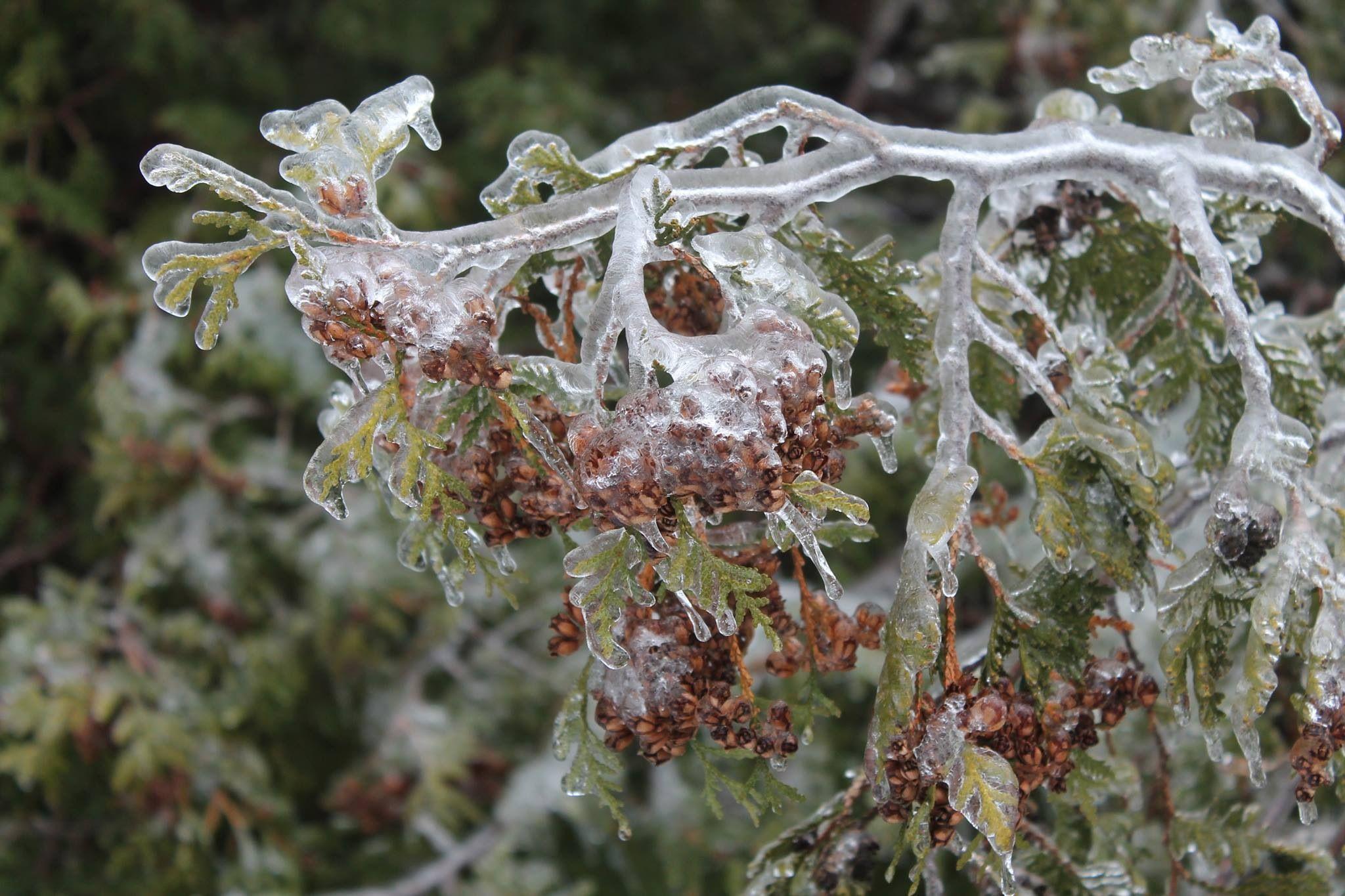 Ice cedar