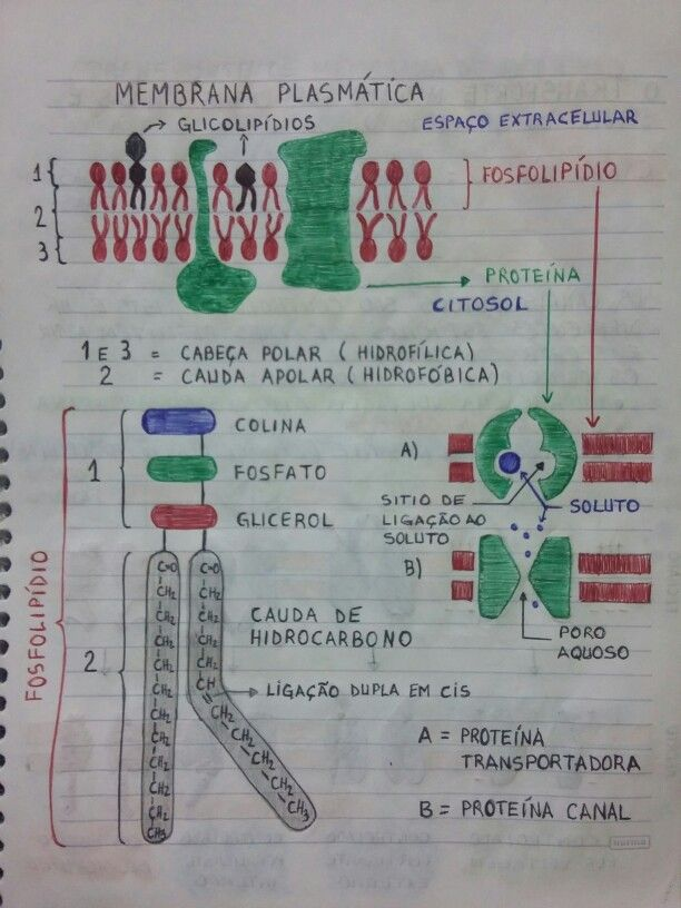 Estrutura Da Membrana Plasmática Membrana Plasmática