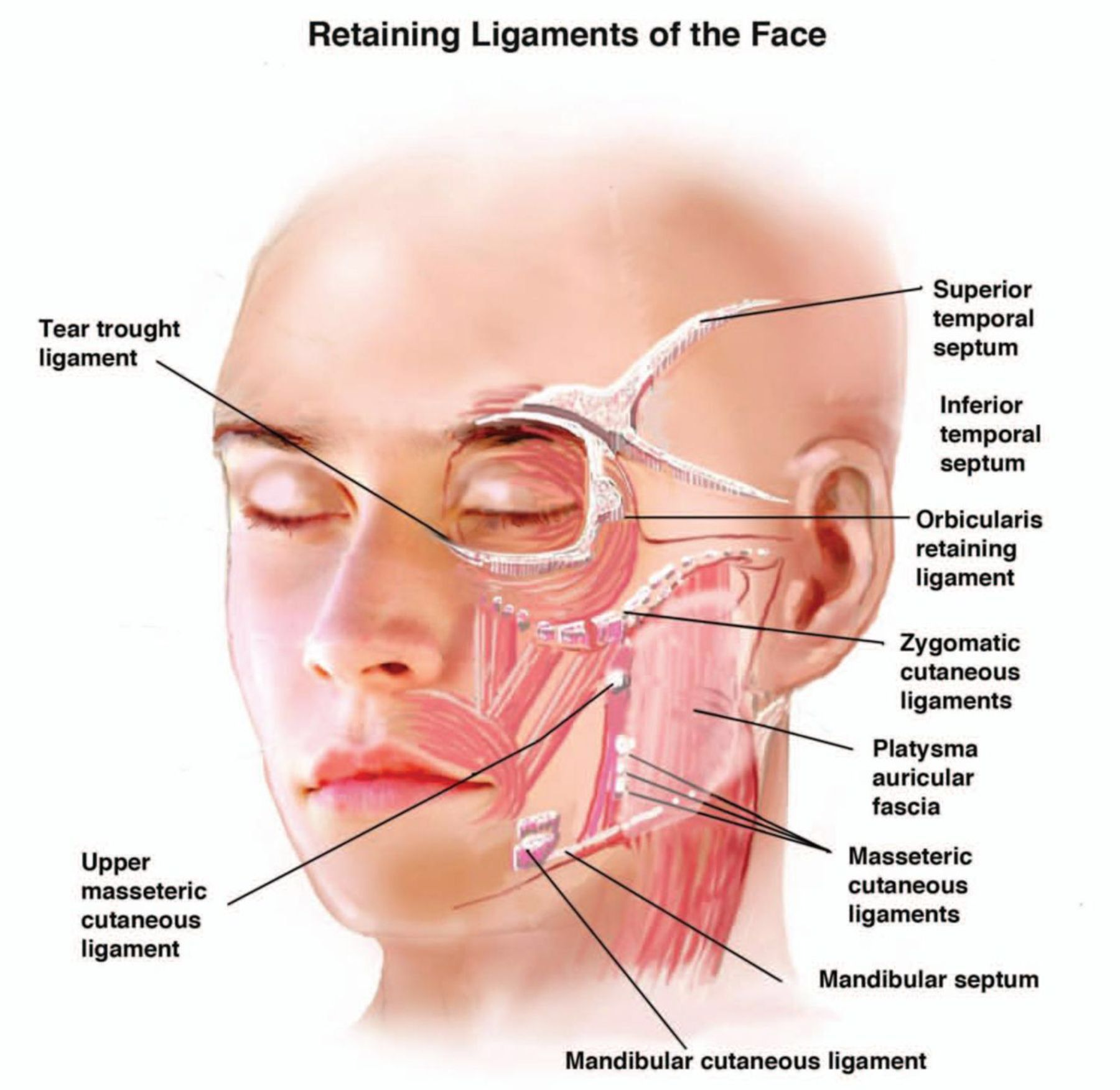 Retaining ligaments of the face | Facial Anatomy | Pinterest | Face ...
