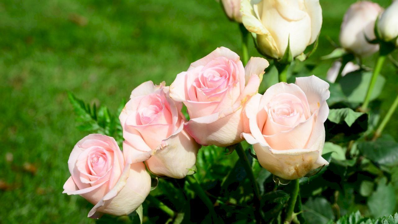 طريقة المحافظة على الورد الطبيعي Rose Flowers Plants