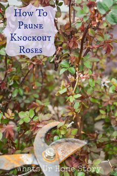 Pruning Knockout Roses #knockoutrosen how to prune knockout roses #knockoutrosen Pruning Knockout Roses #knockoutrosen how to prune knockout roses #knockoutrosen