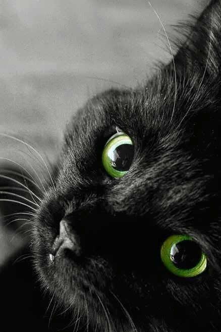 The Lore Of The Black Cat Beautiful Cats Black Cat Cats