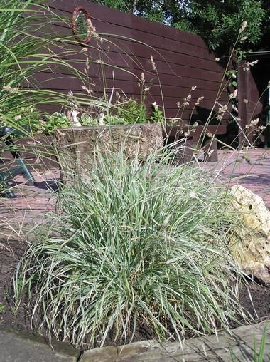 De Dactylis Glomerata Variegata of ook wel Kropaar is een siergras dat stevige pollen heldergroen, witgestreept blad vormt. De plant is wintergroen en heeft sierlijke paarsgroene aartjes. Strenge vorst kan het blad aantasten.