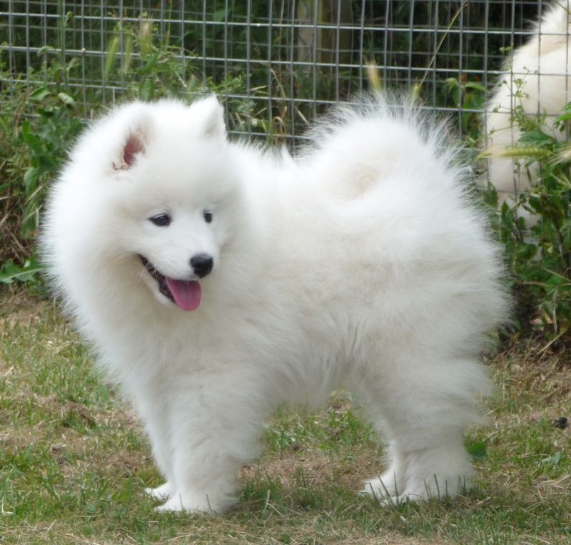 Samoyeds Samnouska Samoyeds Breeding Good Quality Show Dogs