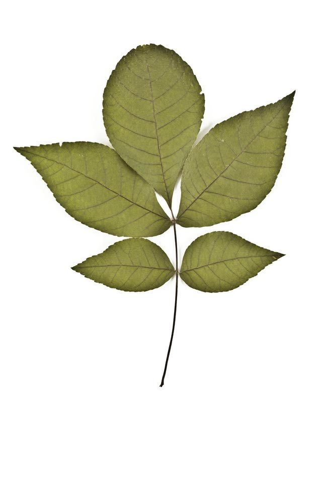 Here S How To Identify Common North American Trees With Pinnate Leaves Pecan Tree Tree Id Tree Identification