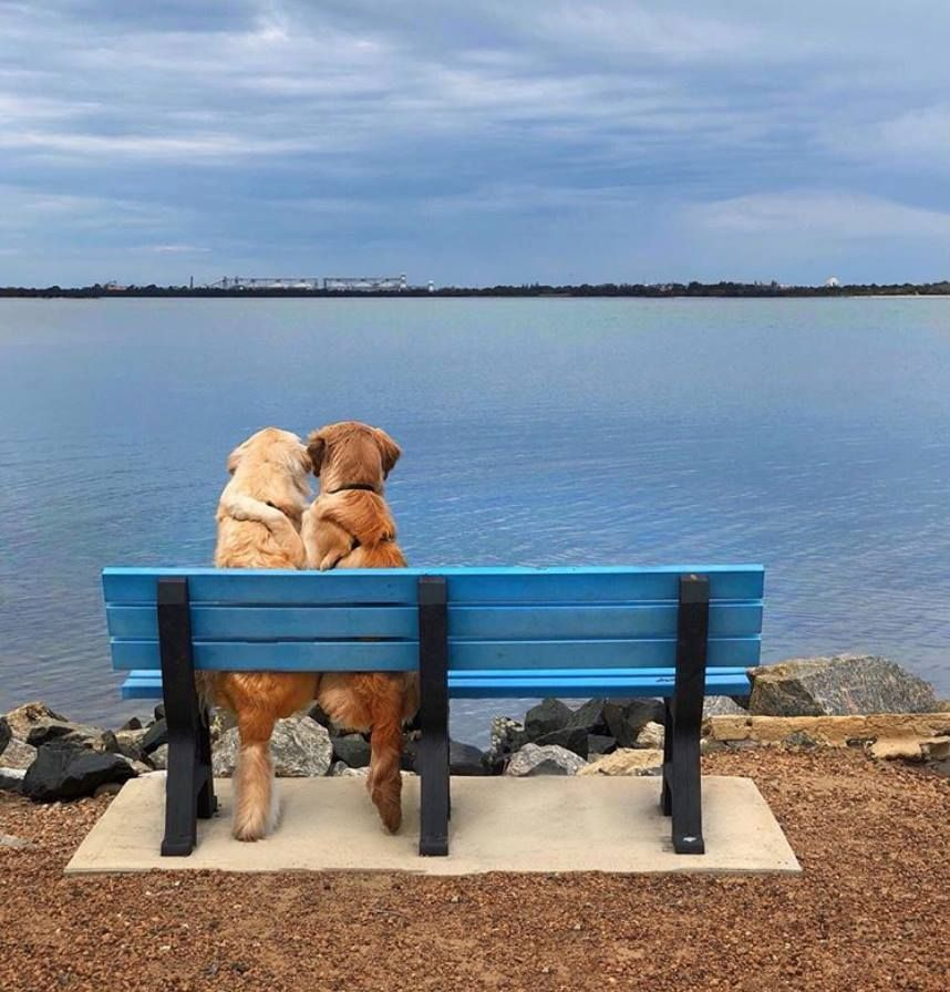 Kylo And Vader Two Golden Retriever Brothers From Perth Western