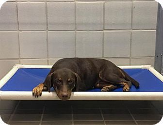 Bryan Tx Doberman Pinscher Meet Riley A Puppy For Adoption