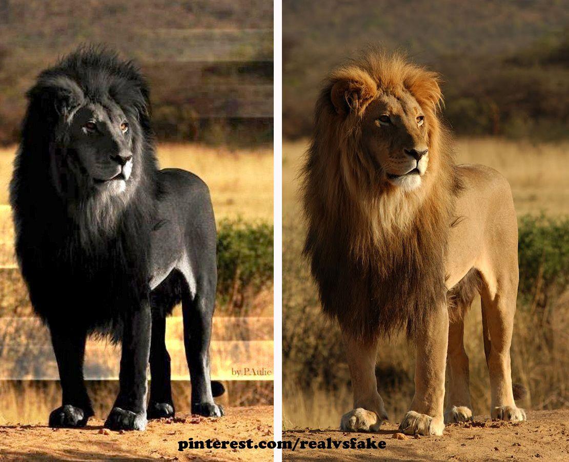 редкий черный лев картинки сапоги-трубы