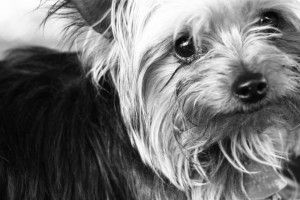 Tips for grooming your Yorkie