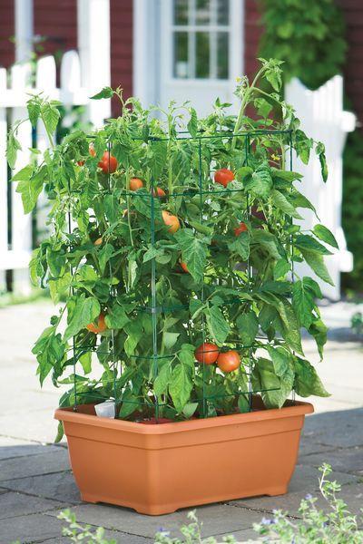 Coltivare pomodori in vaso o nell 39 orto cucina green - Cucina sul balcone ...