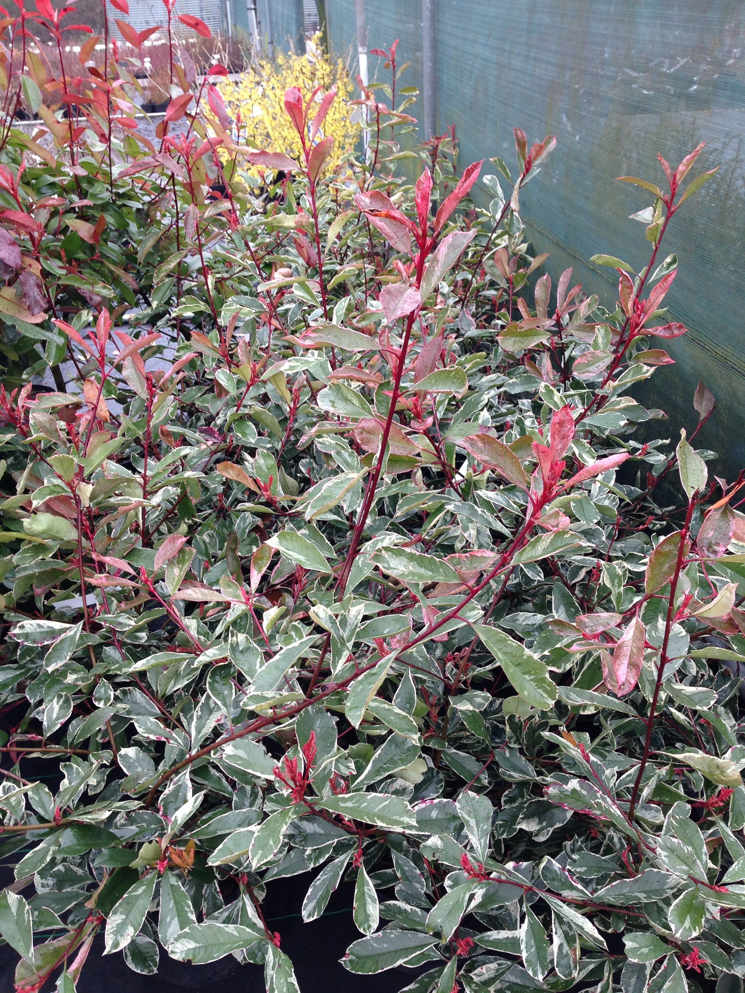 Photinia X Fraseri Pink Marble 3m White Flowers In Spring