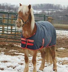 Shetland Pony, Mocha , available for adoption at Omega horse